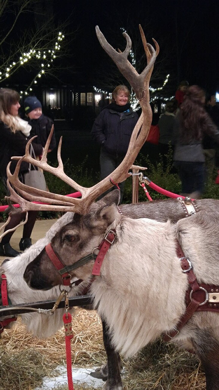 Reindeer Close Up